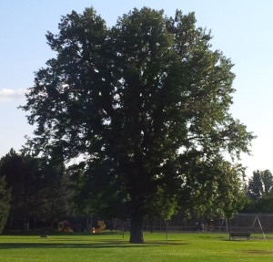 acorn tree_edit